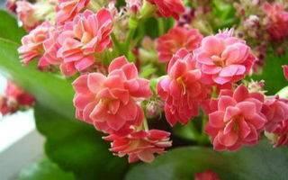 Виды и названия каланхоэ (32 фото): описание разновидностей микс, розовых и белых сортов, войлочное каланхоэ и лациниата, живородящий и тирсифлора