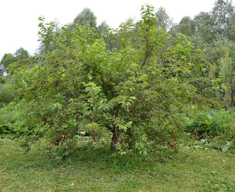 Шелковица (тутовник): секреты выращивания и ухода в подмосковье