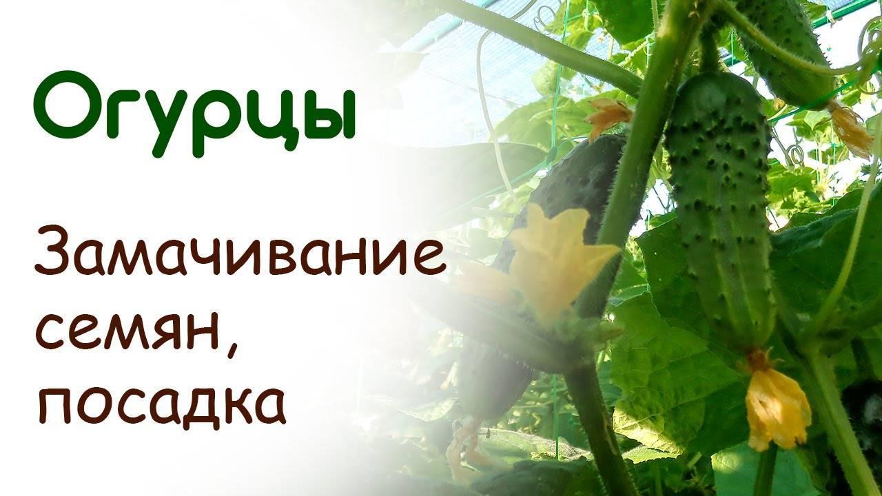 Семена огурцов обработанные надо ли их замачивать - сам себе сад