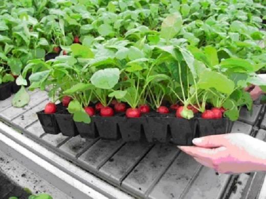 Сорта редиса для теплицы: когда сажать и как вырастить редис в теплице зимой с хорошей урожайностью? русский фермер