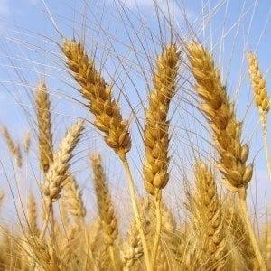 Озимую пшеницу высевают. посев озимой пшеницы — глубина, качество, тонкости