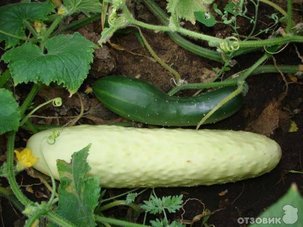 Описание и характеристики лучших сортов белых огурцов, тонкости выращивания