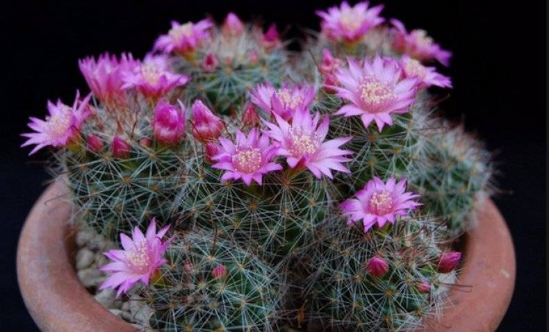 Маммиллярия: выращивание и уход за кактусом