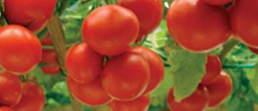 Самые урожайные и вкусные сорта томатов для теплиц