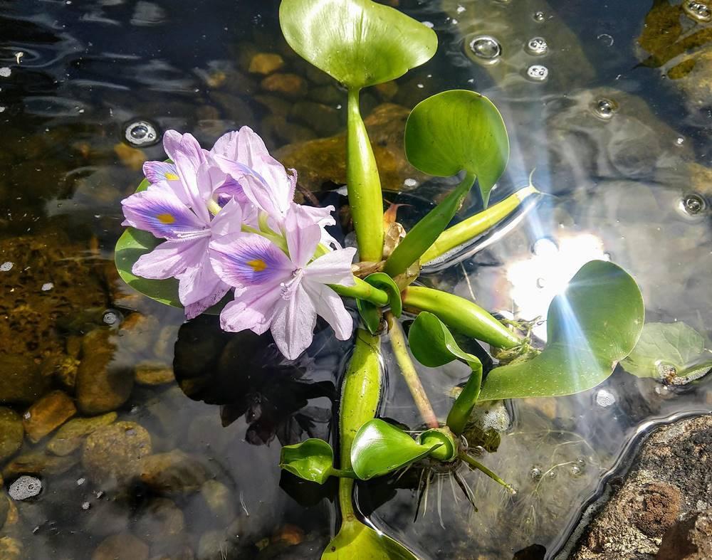 Водный гиацинт: описание, содержание в аквариуме, уход водный гиацинт: описание, содержание в аквариуме, уход