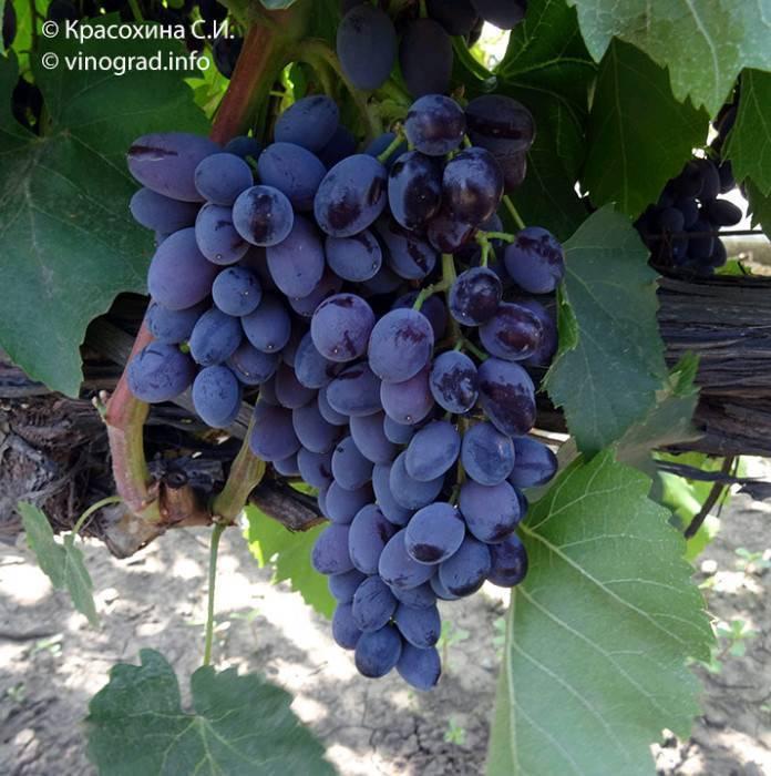Виноград чёрный жемчуг: описание и характеристика сорта, вкусовые качества, посадка и уход, фото