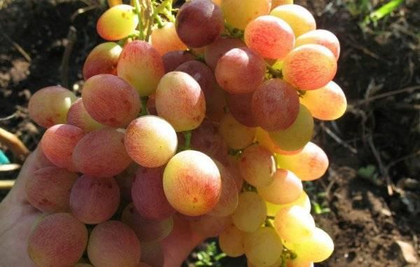 Виноград румба: описание сорта с характеристикой и отзывами, особенности посадки и выращивания, фото