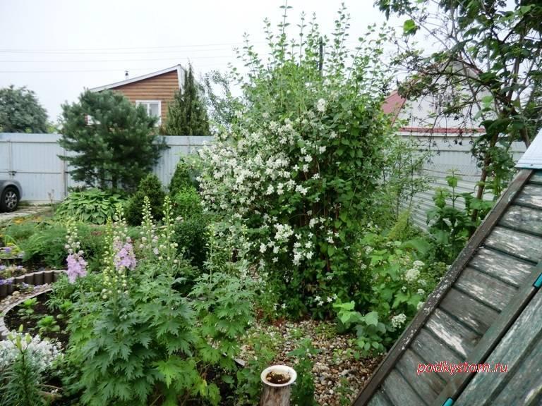 Как посадить жасмин в домашних условиях, кустарник жасмин садовый: посадка в открытый грунт