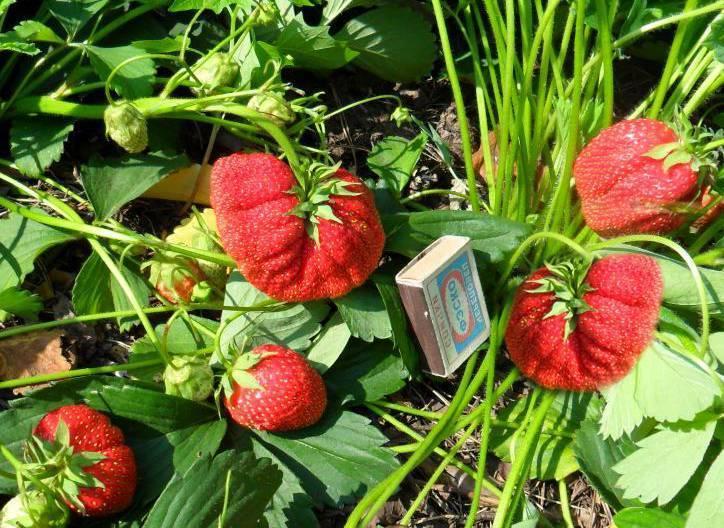 Клубника лорд: описание сорта с характеристикой и отзывами, особенности посадки и выращивания и ухода, фото