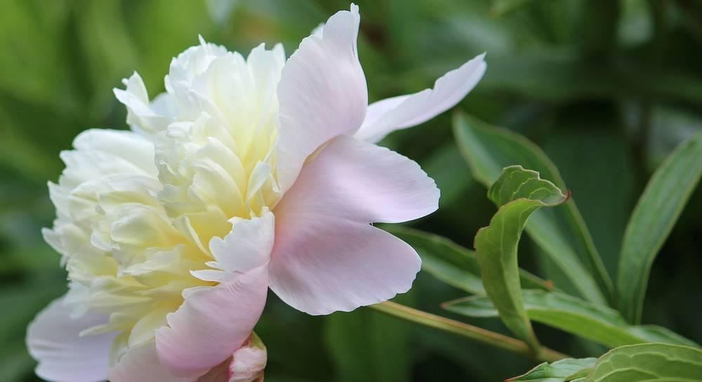 Уход за пионами осенью и правильная подготовка цветов к зиме