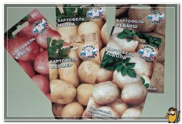 Семена картофеля: как выращивать в домашних условиях, когда собирать