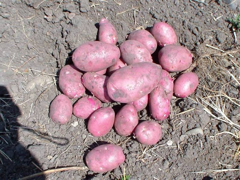 Сорт картофеля романо. описание, характеристика, фото
