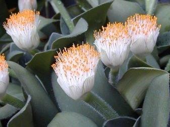 Гемантус – выращивание в домашних условиях, возможные проблемы и фото