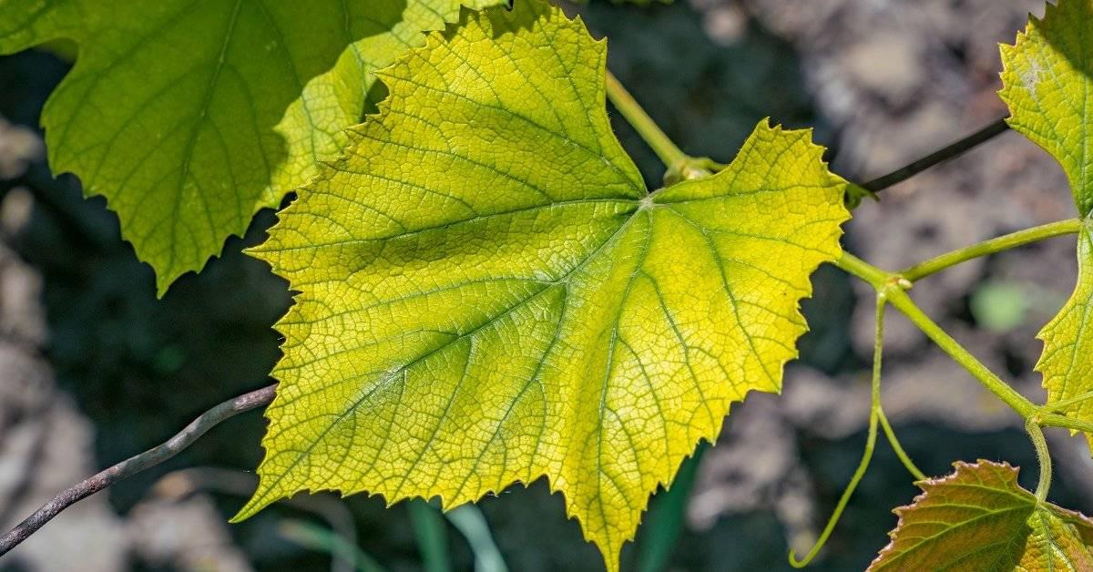 У вашего винограда желтеют и засыхают листья? узнайте, что нужно делать!   фазенда рф
