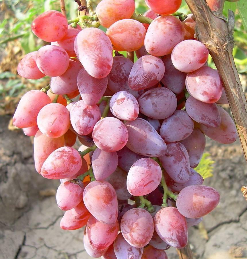 Виноград тимур (розовый): описание сорта, выращивание, уход и отзывы