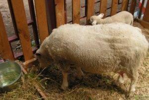 Овцы карачаевской породы: описание, характеристика, особенности содержания и кормления