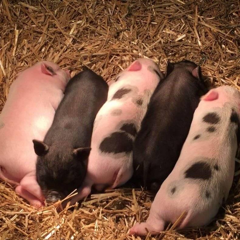 Забой свиней: как правильно зарезать, убой в домашних условиях