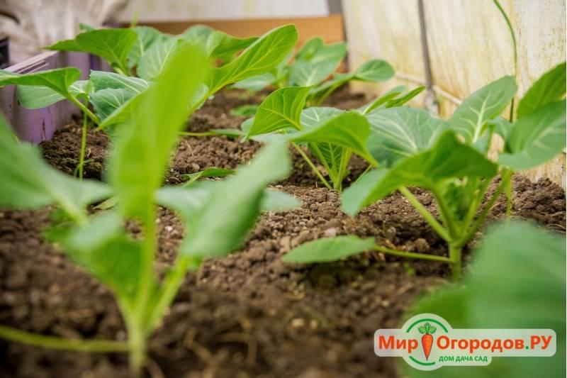 Сроки и порядок посева капусты на рассаду