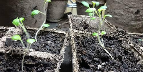 Картофель: технология выращивания из семян, посев