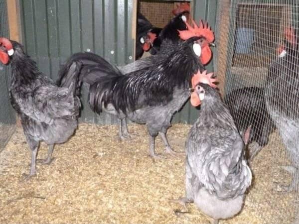 Андалузская голубая порода кур – описание, фото и видео