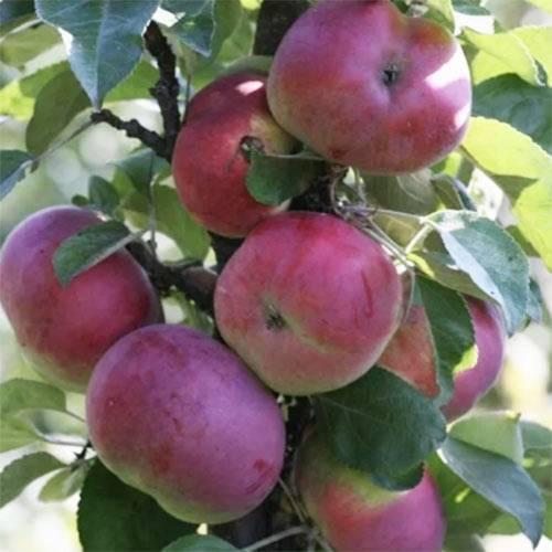 Колоновидная яблоня луч: описание сорта, фото, отзывы и инструкция как сажать