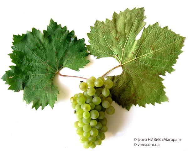 Виноград ранний магарача - мир винограда - сайт для виноградарей и виноделов