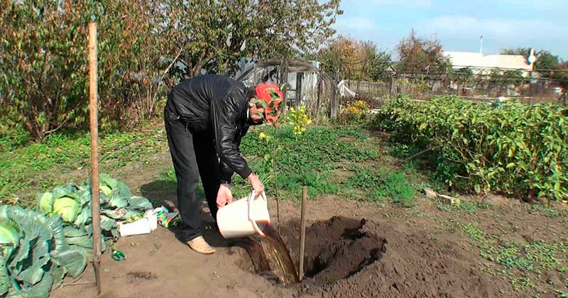Особенности посадки груши осенью