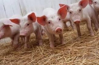 «вирус ходит рядом». как обезопасить хозяйство от африканской чумы свиней? | дача: сельское хозяйство | дача | аиф бурятия