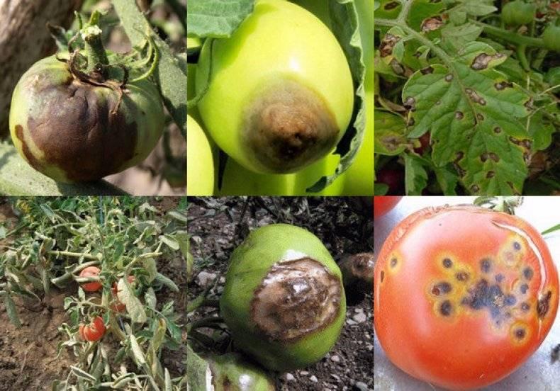 Томат казанова: описание и особенности выращивания