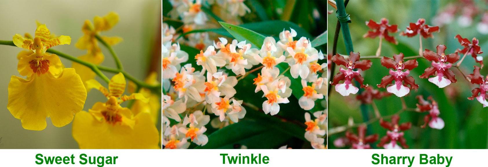 Орхидея онцидиум, уход в домашних условиях, пересадка и размножение