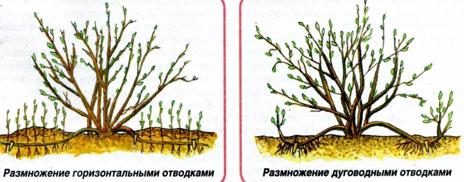 Размножение крыжовника осенью: черенками, отводками, делением куста, как укоренить, как рассадить кусты, фото, видео