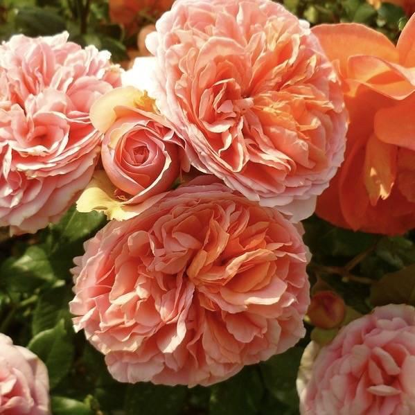 Роза чиппендейл: фото, описание, уход за полуплетистыми сортами