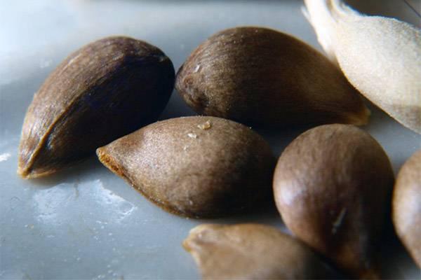 Употребление яблочных семечек: полезно или вредно . как можно употреблять яблочные семечки с пользой