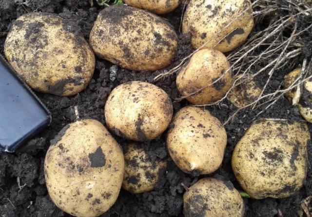 """Картофель """"коломбо"""": описание сорта, фото, отзывы"""