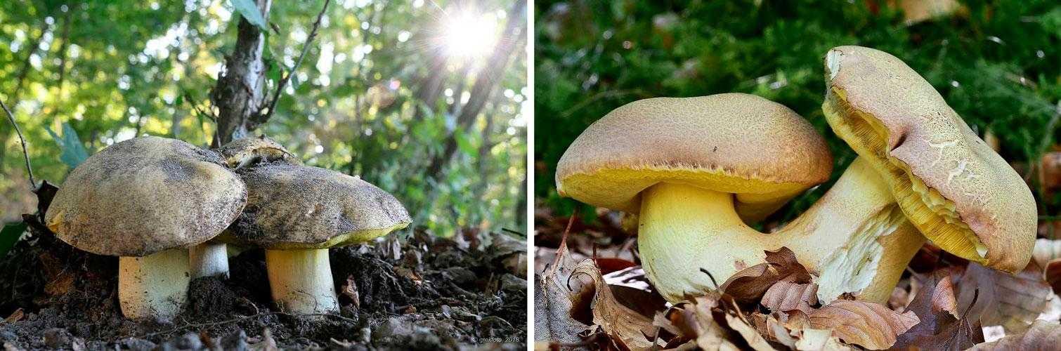 Как выглядит и где растет деликатесный гриб боровик