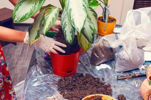 Уход за диффенбахией: как пересадить, полить и подкормить растение в комнатных условиях