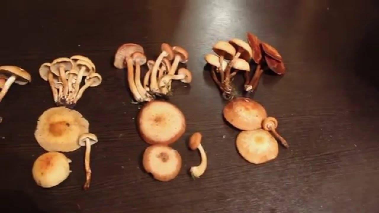 Как выглядят ложные опята и насколько они опасны - грибы собираем