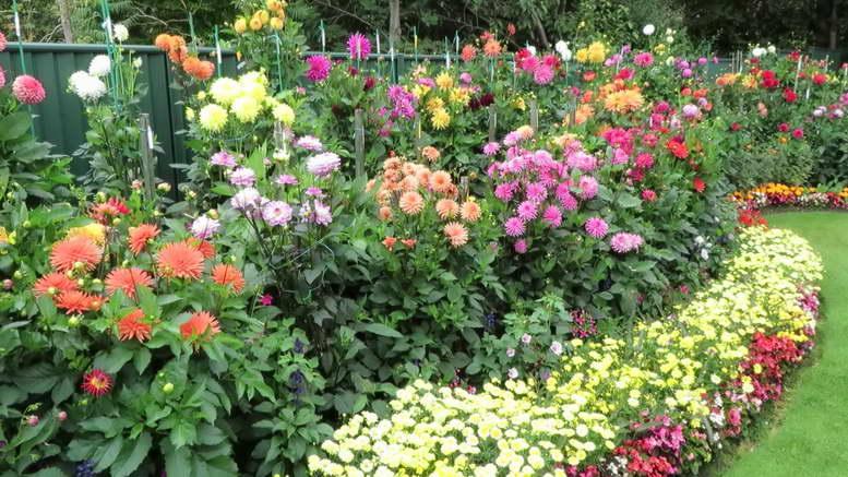 Георгины «веселые ребята» (26 фото): тонкости выращивания цветов из семян, посадка и уход за рассадой