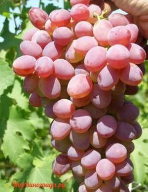 Виноград надежда аксайская: надёжный сорт для вашего сада – дизайн кафе
