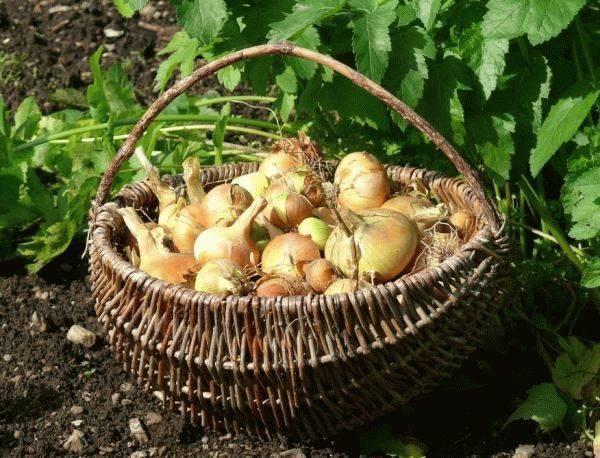 Все об уходе за озимым луком весной и летом: когда всходит и как ухаживать