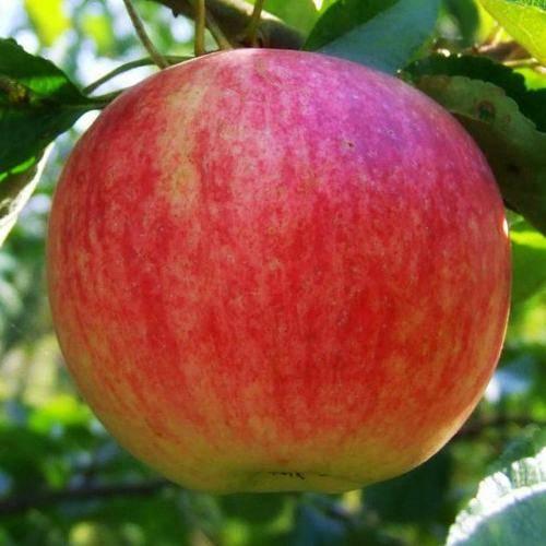 Яблоня штрифель: описание и характеристики сорта
