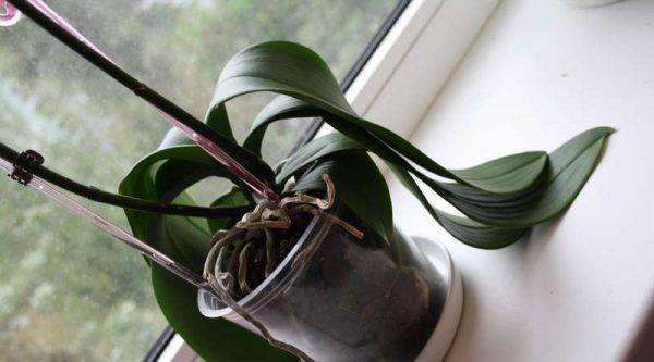 Интересный вопрос: почему у орхидеи желтеют нижние листья и что делать?