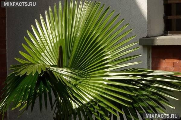 Вашингтония – washingtonia (пальма)