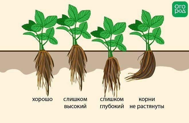 Посадка и выращивание клубники фриго
