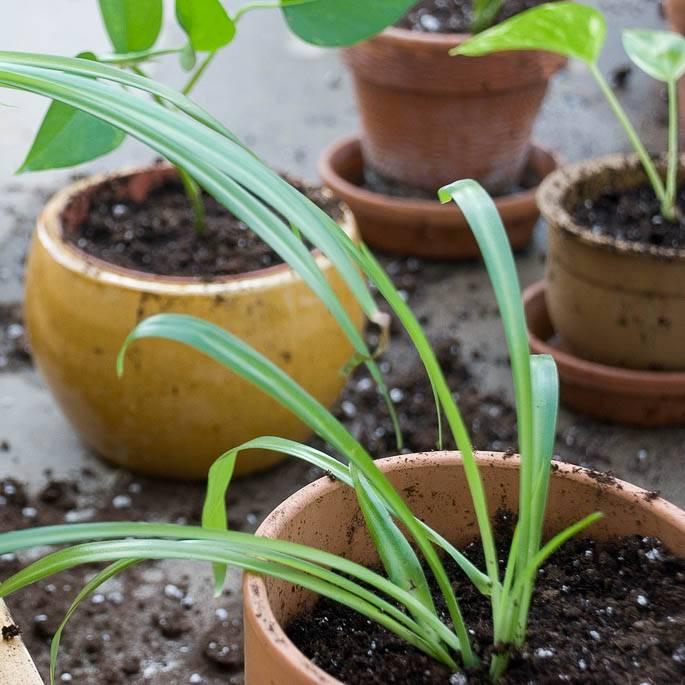 Пересадка комнатных растений (28 фото): когда лучше пересаживать азалию и антуриум в горшках? уход в домашних условиях