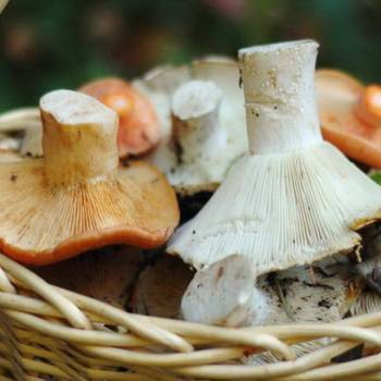 Черные грузди. описание. лесные грибы :: syl.ru