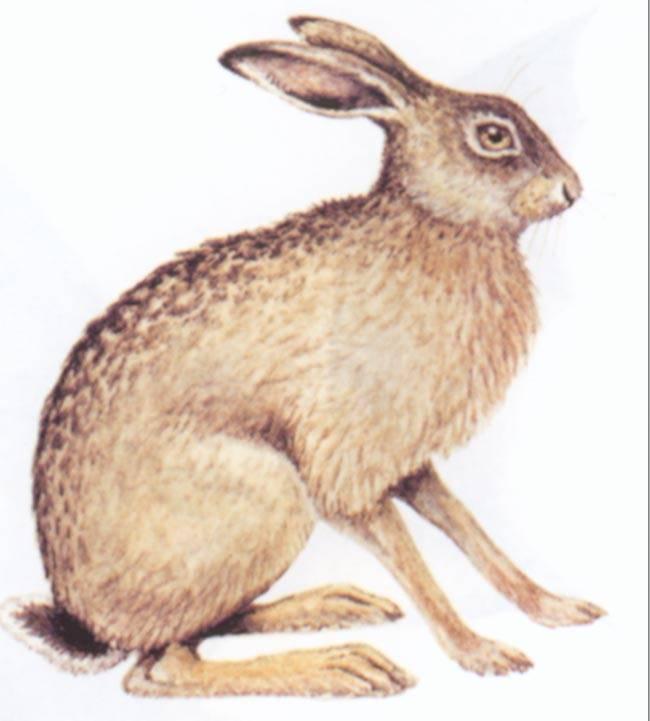 Самый большой заяц в мире: вид, среда обитания, рост, вес и описание внешнего вида с фото