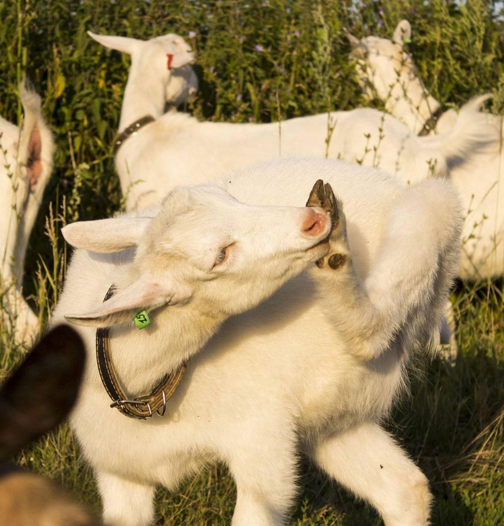 Как ухаживать за выменем козы