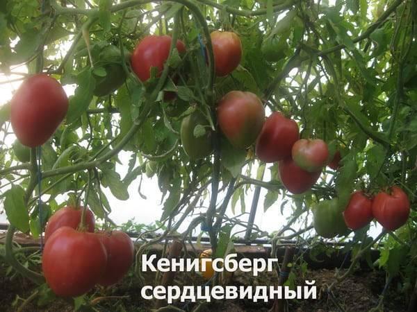 Томат кенигсберг золотой: описание сорта, отзывы, фото | tomatland.ru