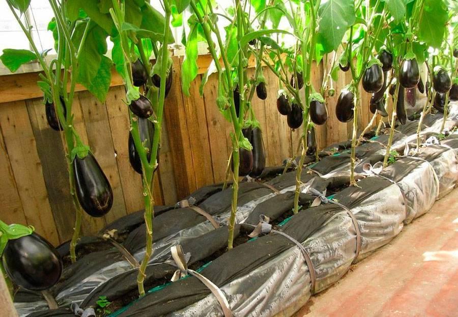 Как вырастить баклажаны в открытом грунте: как правильно сажать русский фермер